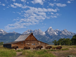 Moulton Barn with Bison in the Grand Teton National Park, Wyoming.
